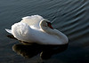 Swan Ballet #9.<br /> <br /> Temporarily at rest.