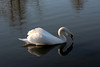 Swan Ballet #55.<br /> <br /> Intermission:  Taking a sip (a)