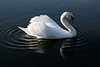 Swan Ballet #39.<br /> <br /> Now there are two strong points of origin for the ripples...the feet and the breast.