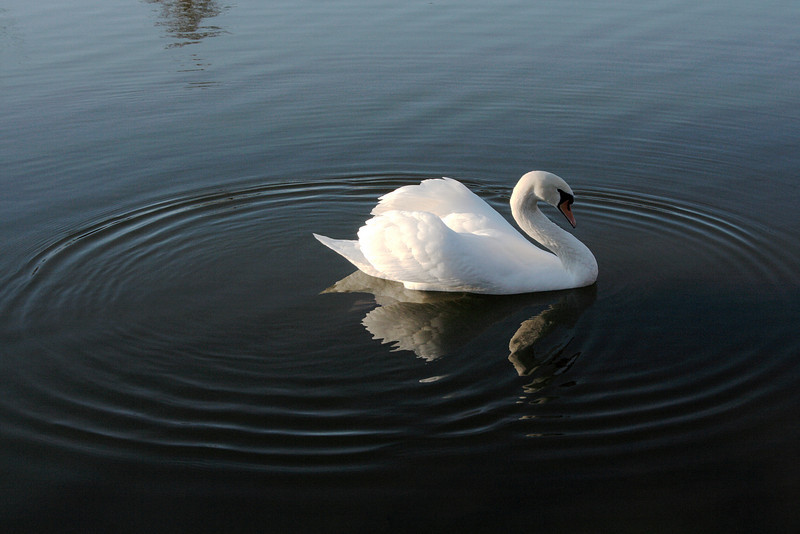 Swan Ballet #42.<br /> <br /> Eventually the two sets of ripples meet to form a larger, irregular set of ripples.  At this point the kicking and bobbing has ceased, and no new ripples are forming.