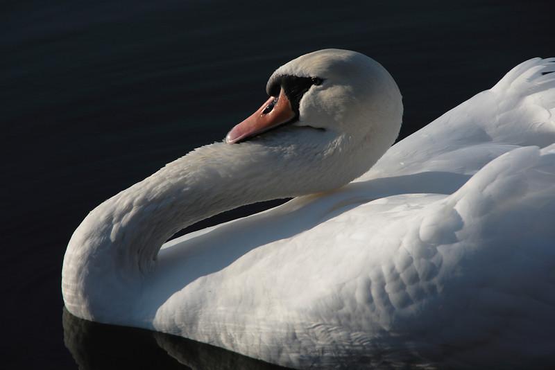 Swan ballet #25