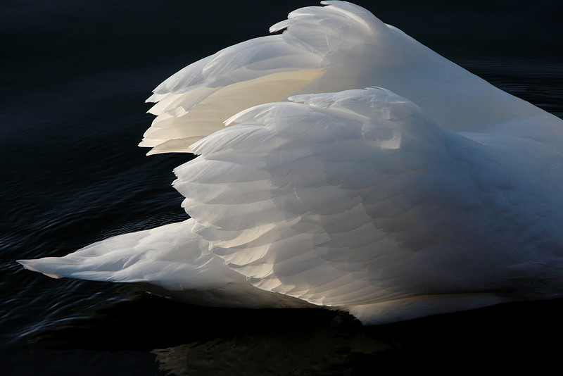 Swan Ballet #51.<br /> <br /> Almost like hands clapping, in applause for its own efforts.