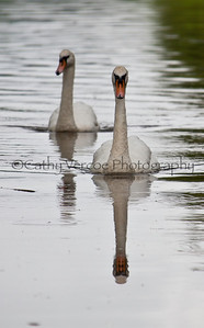 Pair of swans on a still piece of water