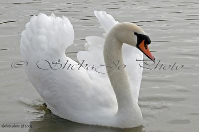 mute swan (male)