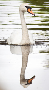 Swan reflection on still water