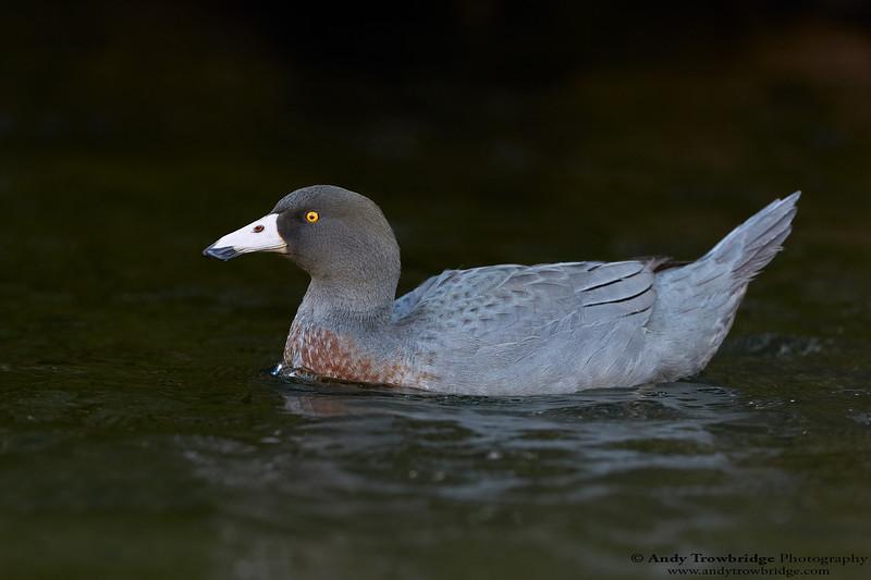 Blue Duck (Hymenolaimus malacorhynchos)