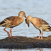 Whistling Ducks (Dendrocygna eytoni)