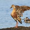 Whistling Duck (Dendrocygna eytoni)