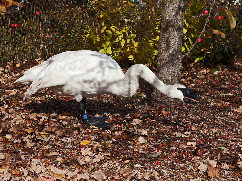 Trumpeter swan eating crabapples near the Visitors Center.<br /> You can see a crabapple it the swan's mouth in this shot.<br /> <br /> Hidden Lake Gardens, Lenawee County, Michigan<br /> October 28, 2011