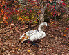 Trumpeter swan eating crabapples near the Visitors Center.<br /> Does eating crabapples make you crabby?  Or do you eat them because you're already crabby?  Another of LLM's.<br /> <br /> Hidden Lake Gardens, Lenawee County, Michigan<br /> October 28, 2011