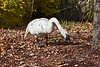 Trumpeter swan eating crabapples near the Visitors Center.<br /> <br /> Hidden Lake Gardens, Lenawee County, Michigan<br /> October 28, 2011
