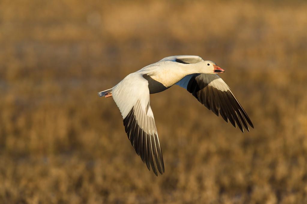 Snow goosw in flight