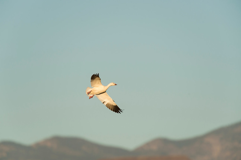 Snow goose in flight over montains