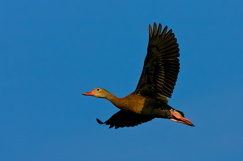 Black-belly whistling duck