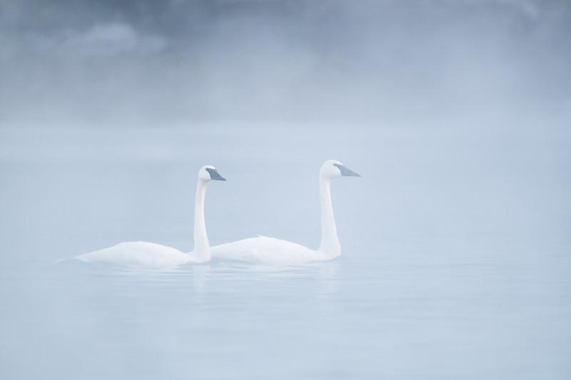 ATS-13-17: Trumpeter pair in morning fog