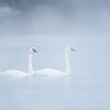 ATS-13-17: Trumpeter pair in morning fog