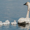 ATS-13-113: Parent with Cygnets