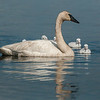 ATS-13-108: Parent with Cygnets