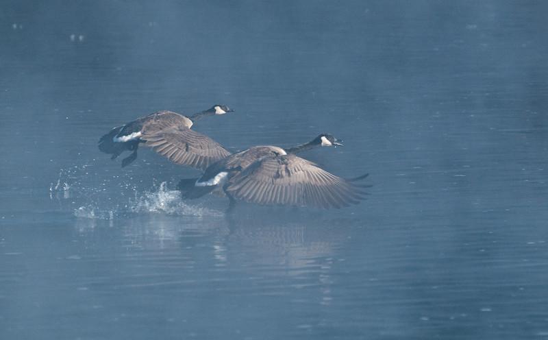 ACG-10023: Geese taking flight (Branta canadensis)