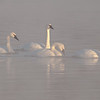 ATS-11034: Trumpeter Swans
