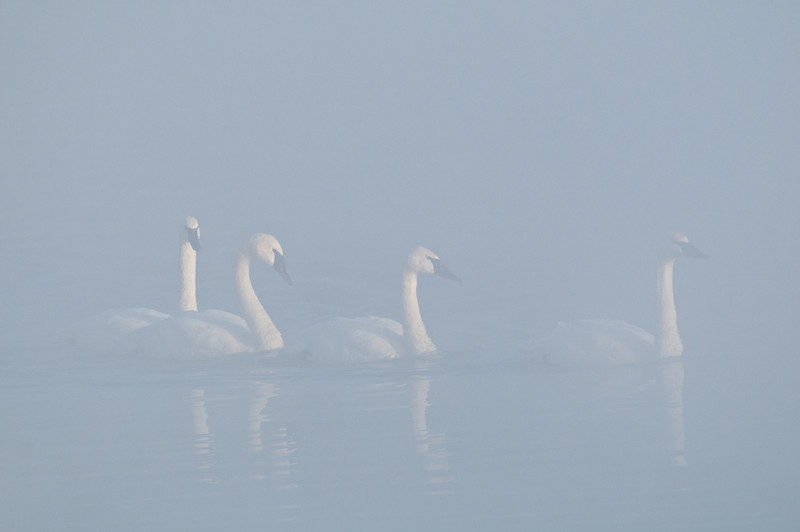 ATS-10095: Misty morning Trumpeters