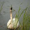 ATS-13-149: Feeding Trumpeter Swan