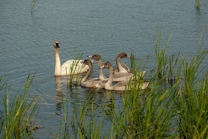 ATS-13-141: Trumpeter parent with Juveniles