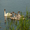 ATS-13-141: Trumpeter parent with Juveniles