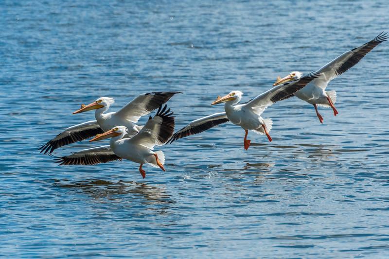 Pelicans coming in