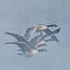 ACG-10030: Geese in flight (Branta canadensis)