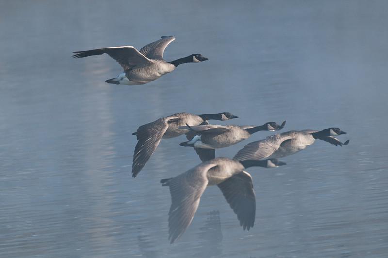 ACG-10032: Canada Geese in flight (Branta canadesis)