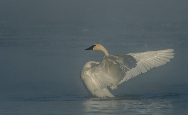 Trumpeter stretching wings