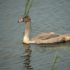ATS-13-146: nine week old Cygnet