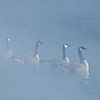 ACG-10015: Misty morning geese (Branta canadensis)