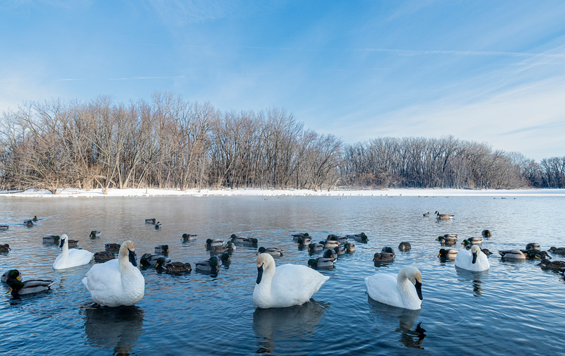 Waterfowl on the Minnesota River