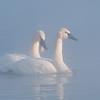 ATS-1081: Trumpeter Swans (Cygnus buccinator)