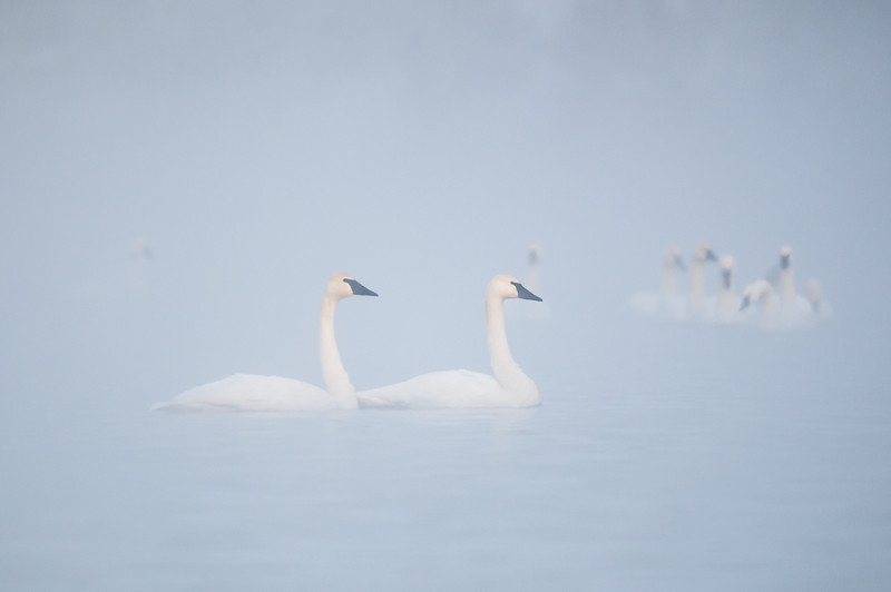 ATS-13-18: Trumpeters in morning mist