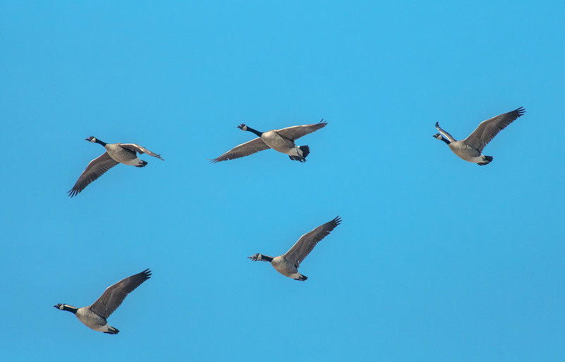 Geese fly over