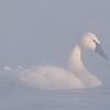 ATS-1013:Wintering Trumpeter Swan (Cygnus buccinator)