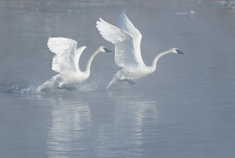 ATS-9236: Walking on water: (Cygnus buccinator)