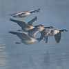 ACG-10031: Flying down the Mississippi (Branta canadensis)