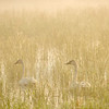 ATS-13-129: Misty morning Trumpeters