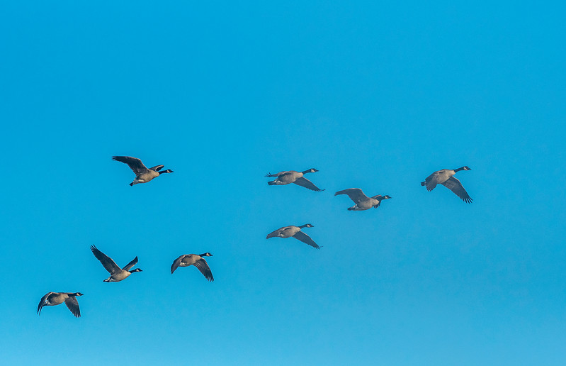 """Geese in """"V"""" formation"""
