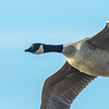 Goose fly over