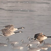 ACG-10005: Flying over Mississippi (Branta canadensis)