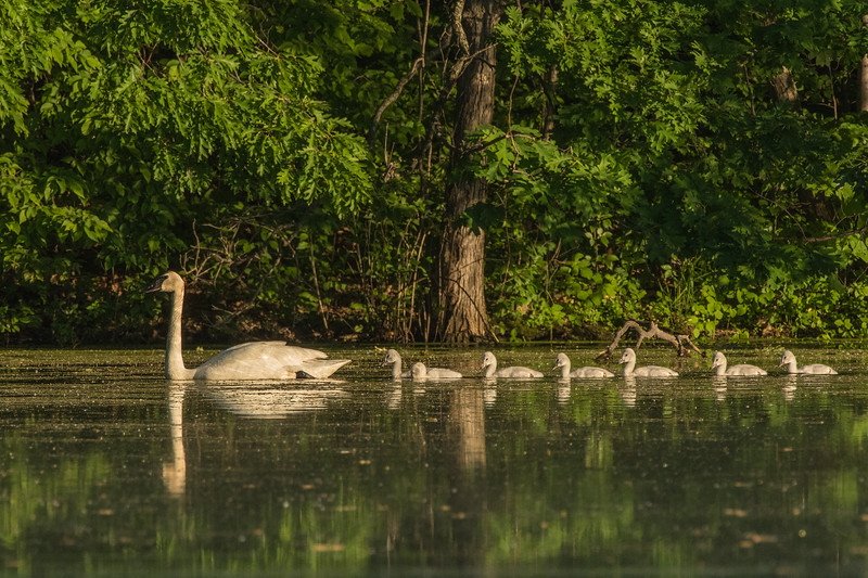 Trumpeter with Cygnets