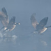 ACG-10019: Geese taking off (Branta canadensis)