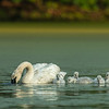 Trumpeter Swans and duckweed dinner