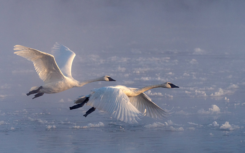 Trumpeters taking flight on a very cold morning