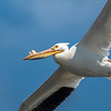 Pelican flying overhead